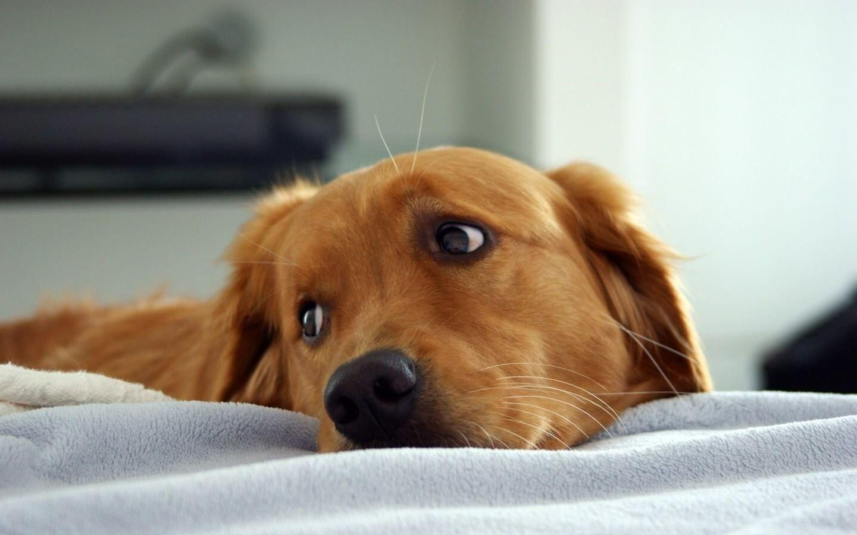 A természetes C-vitamin előnyei kutyáknál